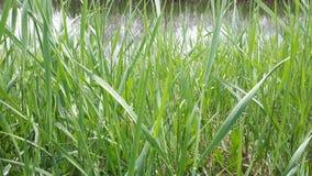 cielo de la planta del río del lago de la hierba verde imagenes de archivo