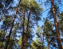 Cielo de la visión a través del bosque del pino Foto de archivo libre de regalías
