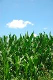 Cielo de las plantas de maíz Fotos de archivo