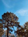 Cielo de los árboles de hoja perenne imagen de archivo