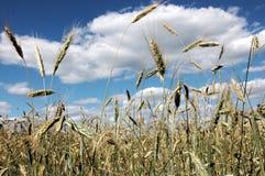 Cielo del campo de trigo Foto de archivo libre de regalías