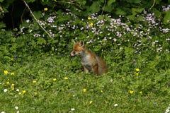 Cielo del Fox Cub Imagenes de archivo
