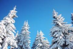 Cielo del invierno y fondo de los árboles Fotografía de archivo