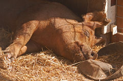 Cielo del maiale Fotografia Stock