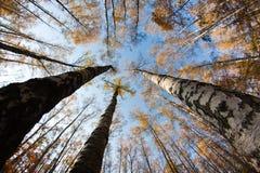 Cielo del otoño en bosque del abedul Fotografía de archivo