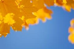 Cielo del otoño y frontera amarilla de las hojas de arce Foto de archivo libre de regalías