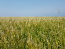 Cielo del paesaggio di verde del campo del wheatfield del grano Immagini Stock Libere da Diritti