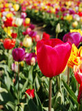 Cielo del tulipano Fotografie Stock