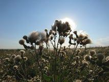 Cielo del verano con los cardos hermosos Fotos de archivo