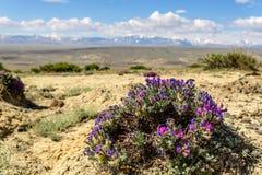Cielo della montagna della steppa del Dracocephalum del fiore Fotografia Stock Libera da Diritti