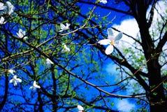 Cielo della primavera Fiori bianchi contro lo sfondo di un cielo blu Fotografia Stock