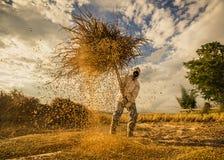 Cielo della sfuocatura del riso di colpo Fotografia Stock Libera da Diritti