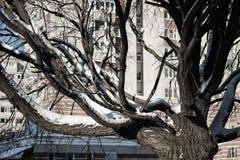 Cielo desnudo del invierno del abedul del árbol Imagen de archivo