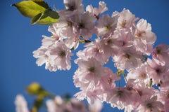 Cielo despejado y árboles florecientes elásticos imágenes de archivo libres de regalías