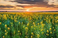 Cielo di alba di tramonto sopra l'orizzonte del Canola di fioritura della primavera, seme di ravizzone Fotografie Stock