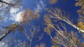 Cielo di autunno nel boschetto della betulla. Fotografia Stock Libera da Diritti