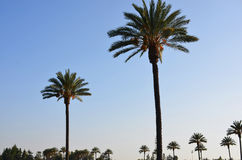 Cielo di Sunsetting sopra le palme a Pasadena fotografie stock libere da diritti