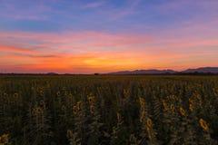 Cielo dramático hermoso de la puesta del sol sobre campo del girasol de la plena floración fotos de archivo libres de regalías