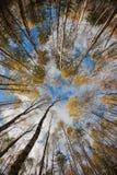 Cielo en bosque del abedul. Fotografía de archivo