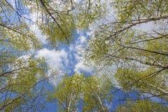 Cielo en las coronas del abedul Foto de archivo libre de regalías