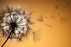 Cielo mullido de la puesta del sol de la flor de la silueta del diente de león Fotografía de archivo libre de regalías