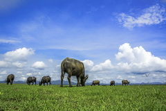 Cielo natural del búfalo Imagenes de archivo