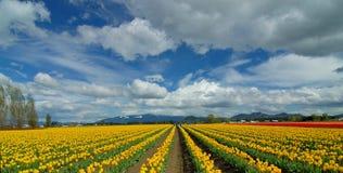 Cielo nublado sobre campo del tulipán Imagen de archivo libre de regalías
