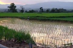 Cielo-nuvole dell'asiatico del giacimento del riso Immagini Stock