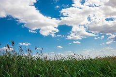 Cielo nuvoloso e canne alte Fotografia Stock
