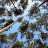 Cielo pinos Imagenes de archivo
