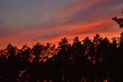 Cielo rojo Forest Pine Trees Evening Background de la oscuridad imágenes de archivo libres de regalías