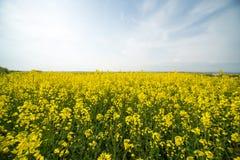 Cielo senza fine e campo infinito della violenza di fioritura in Bulgaria Fotografia Stock