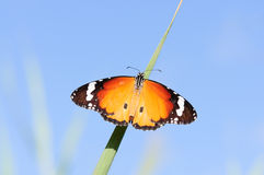 cielo senza giunte della farfalla della priorità bassa Fotografia Stock