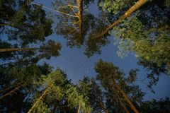 Cielo stellato di notte reale naturale sopra i pini verdi in Forest Park fotografia stock libera da diritti