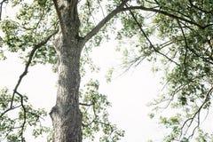Cielo superior y brillante del árbol de Taal Fotografía de archivo libre de regalías