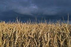 Cielo tempestuoso sobre el campo del trigo Imagen de archivo libre de regalías