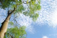 Cielo verde di azzurro e dell'albero Immagine Stock