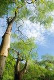 Cielo verde di azzurro e dell'albero Fotografie Stock Libere da Diritti