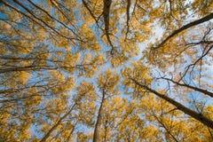 Cielo y álamo temblón del otoño Fotografía de archivo