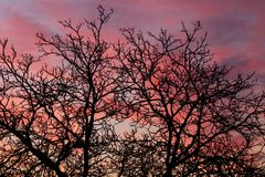 Cielos rosados con las ramas de árbol desnudas Fotografía de archivo libre de regalías