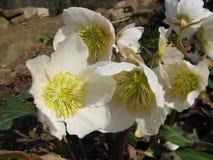 Ciemierników kwiaty Obrazy Royalty Free