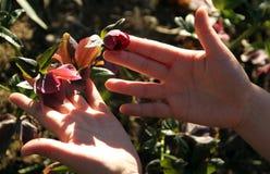 Ciemiernik, Helleborus, z czerwonymi kwiatami Obrazy Royalty Free