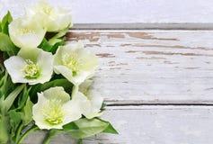 Ciemiernik kwitnie helleborus orientalis na drewnie zdjęcia royalty free