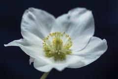 Ciemiernik wiosny kwiat makro- Zdjęcie Stock