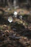 Ciemiernik wiosny kwiaty Fotografia Stock