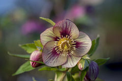 Ciemiernika kwiat Obrazy Stock