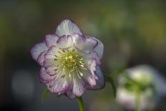 Ciemiernika kwiat Fotografia Royalty Free
