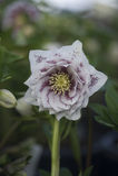 Ciemiernika kwiat Zdjęcie Royalty Free