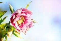 Ciemiernika kwiat lub Helleborus orientalis Obrazy Stock