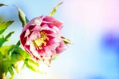 Ciemiernika kwiat lub Helleborus orientalis Zdjęcia Royalty Free